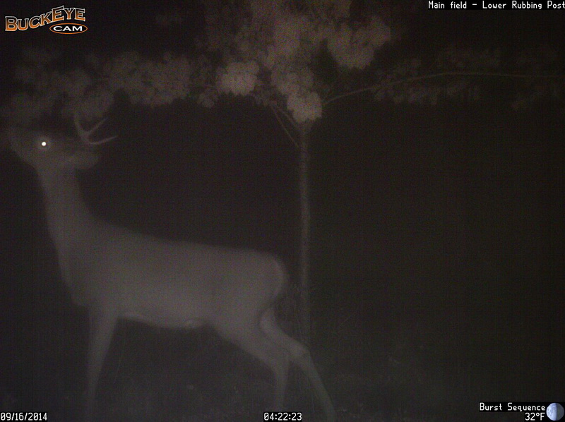 The 1st buck to show up and check things out.