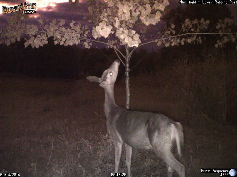 A doe checking out the rubbing post.
